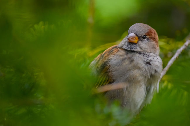 Chirp Chirp :D Animal Head  Animal Themes Animals In The Wild Avian Beak Beauty In Nature Bird Branch Close-up Day Focus On Foreground Green Color Nature No People One Animal Selective Focus Sparrow Wildlife Zoology