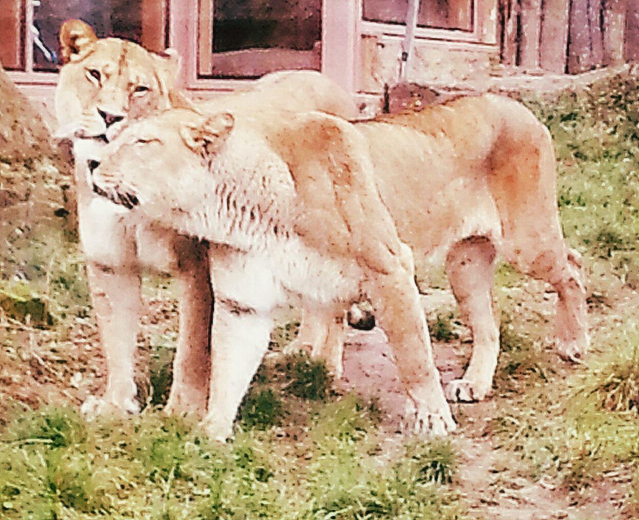 Kuschelzeit Animals Lion