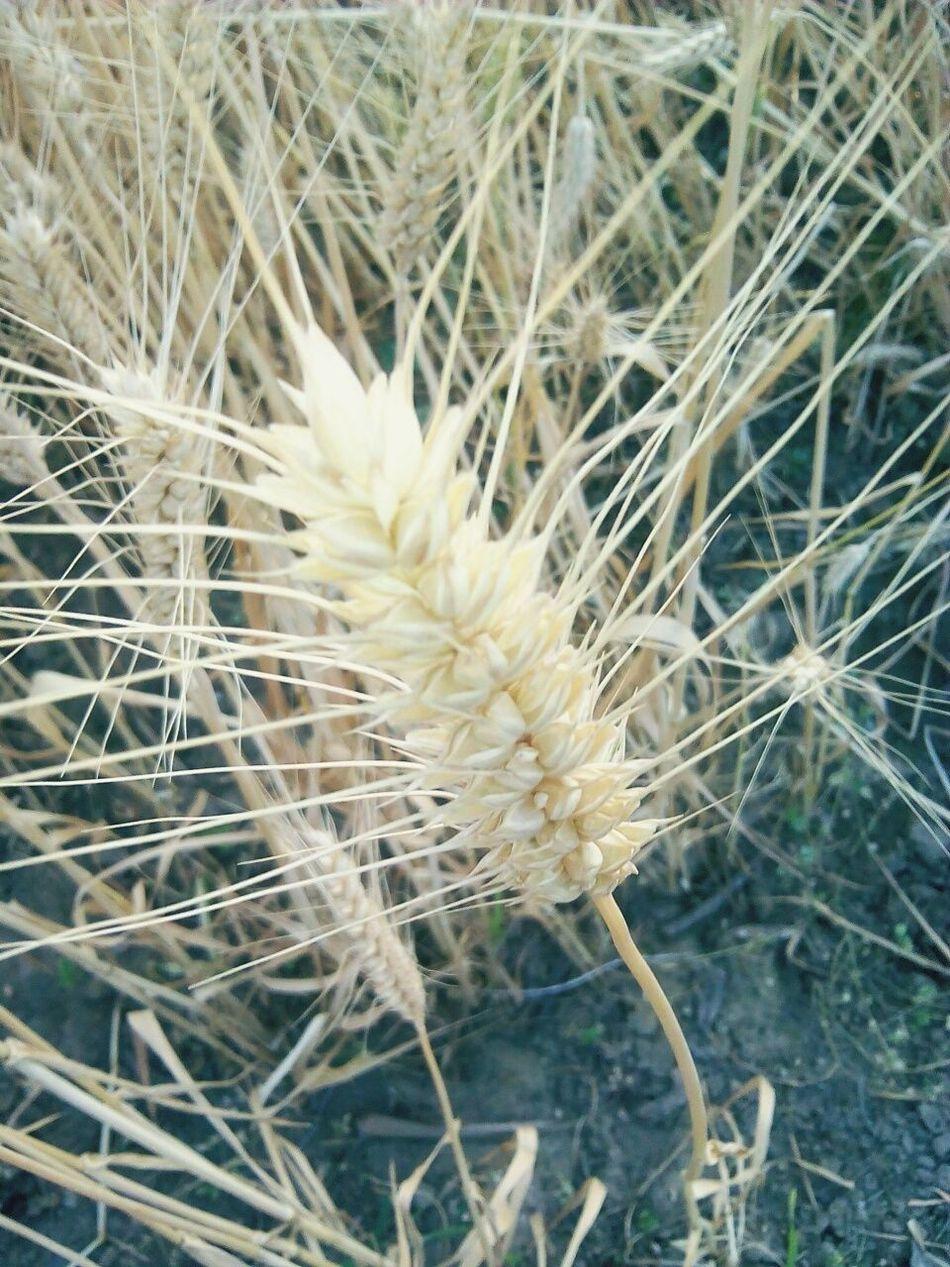 Nature Flower Head Close-up Wheat Field Harvest Season