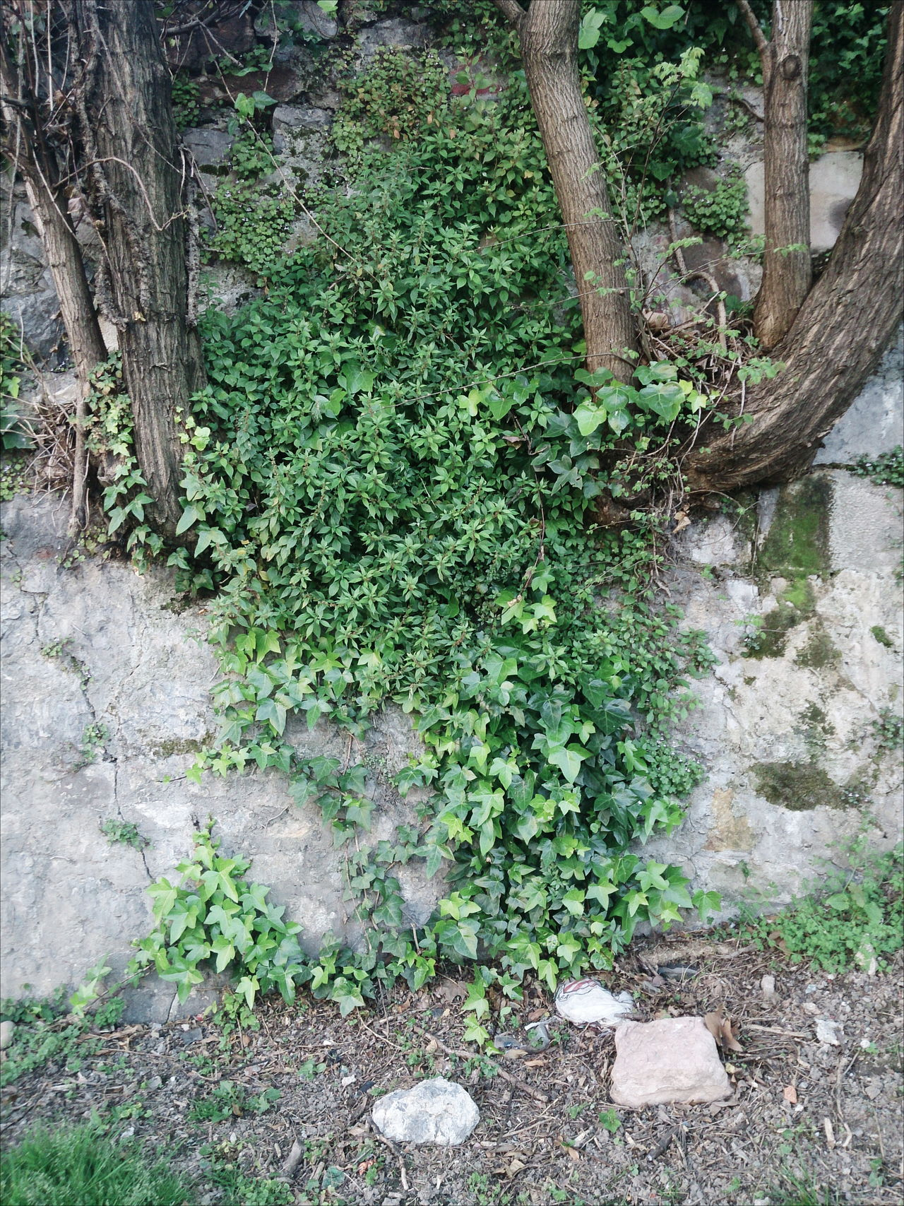 Born of the wall plants Beauty In Nature Day Forest Green Green Color Growing Growth Idyllic Landscape Lush Foliage Nature No People Non Urban Scene Non-urban Scene Outdoors Plant Scenics Tranquil Scene Tranquility Tree Tree Trunk WoodLand Woods