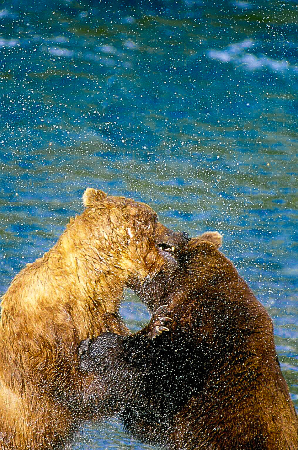 the bears of Brooks Falls and Katmai National Park Animal Themes Animals In The Wild Bear Beauty In Nature Blue Brooks Falls Close-up Discovery Drop Fight Grizzly Lake Motion Nature No People One Animal Outdoors Reflection Rippled Splashing Water Wet Wildlife