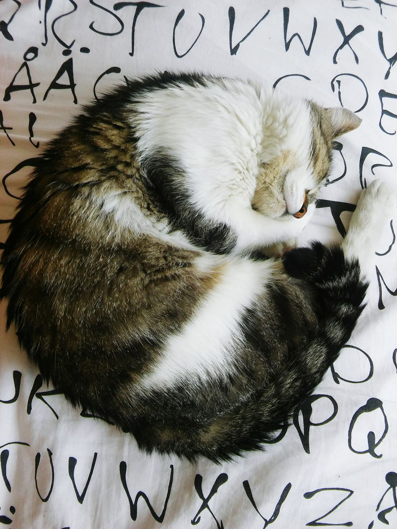 Boshko is the name of my model :) Cat Catslife Sleeping Cat Curled Up Fatcat