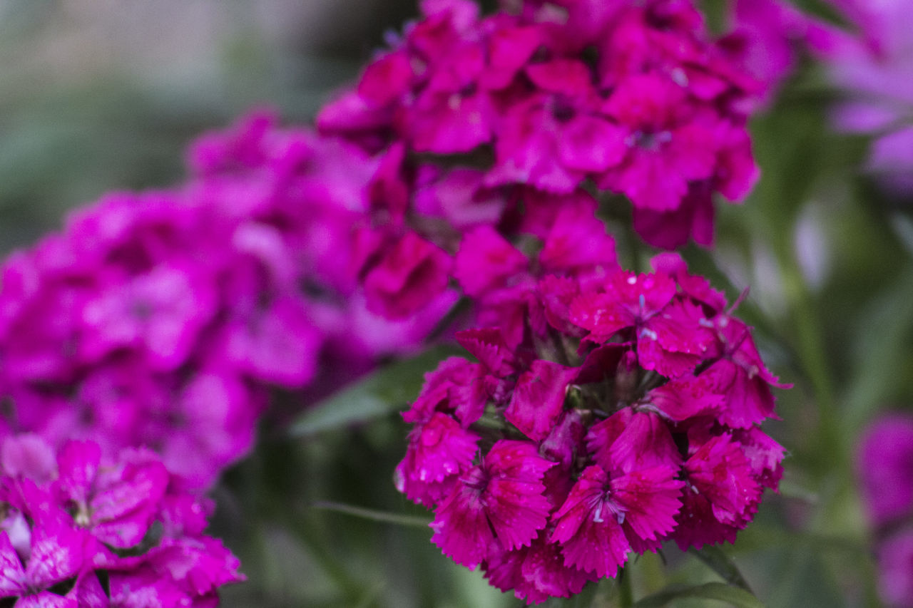 Beauty In Nature Blooming Close-up Day Flower Flower Head Focus On Foreground Fragility Freshness Growth Hydrangea Lilac Nature No People Outdoors Petal Plant Purple Springtime Pink Color After Rain Wet RainDrop