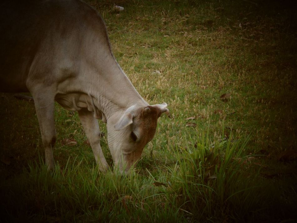 Grass One Animal Mammal Animal Themes Field Nature Outdoors Animal No People Grazing Close-up Day Cows Grazing