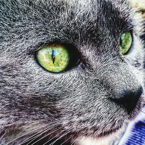Cat♡ Cats 🐱 Catwithgreeneyes Beautifulcats Crazycat  Mycat❤