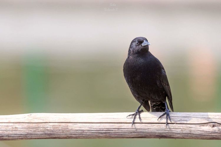 EyeEm Selects Bird Wood - Material Animal Wildlife Perching One Animal Animals In The Wild Focus On Foreground Full Length Animal Themes Songbird  Day Nature Outdoors Close-up No People Standing Wooden Post Lake Looking At Camera Portrait