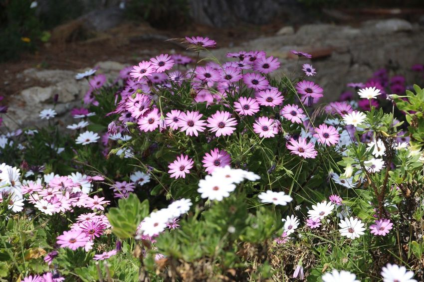 Flower Fragility Nature Purple Petal Beauty In Nature Growth No People Outdoors Plant Blooming Freshness Day Pink Color Flower Head Close-up