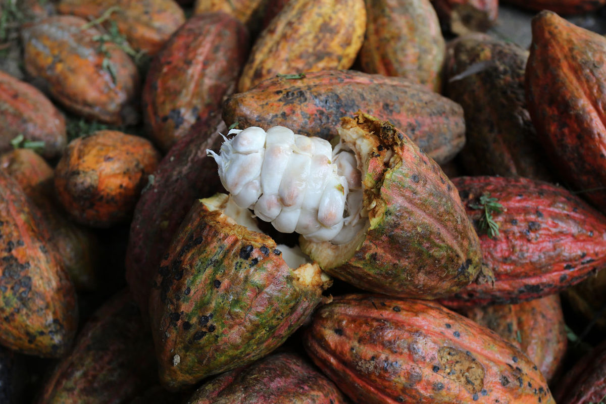Cacao Beauty And Health Cacao Cacao Beans Cacao Farm Cacao Nibs Close-up Fresh Fruit Full Frame Harvest Healthy Indonesian Cacao Nature Pinrang Sulawesi Selatan