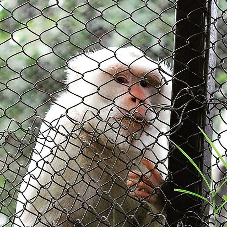 In the cage. Monkey Animal Primata Kandang Monyet Monyetputih Cool Nice Cage WOW