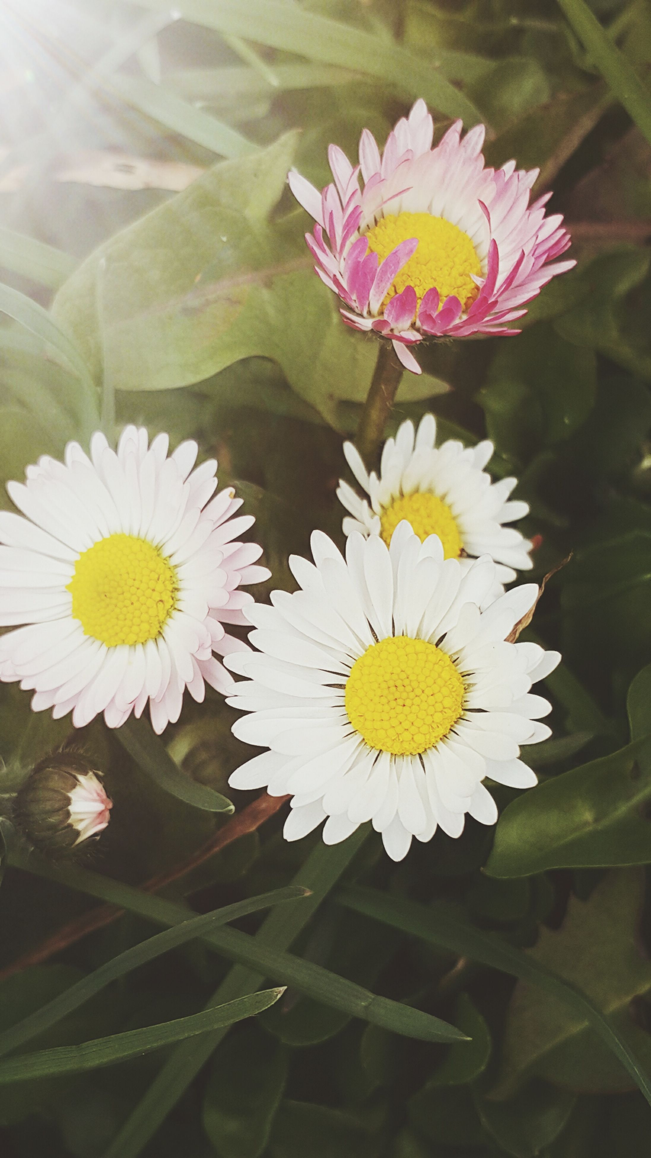 flower, petal, freshness, fragility, flower head, beauty in nature, growth, blooming, pollen, nature, leaf, close-up, plant, white color, in bloom, yellow, daisy, high angle view, blossom, focus on foreground