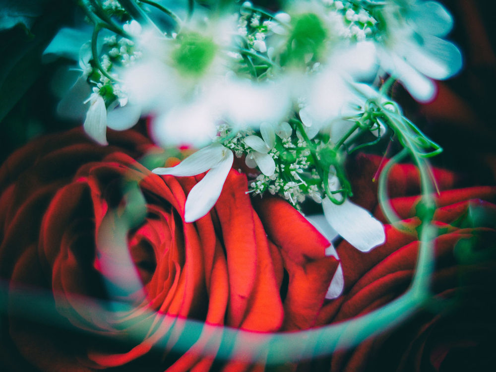 A Rose Bouquet in red and white 20th Anniversary Anniversary Bloom Blossom Blurred Bouquet Close-up Colorful Flower Focus On Foreground Fragility Nature Petal Red Red White And Green Rose Bouquet Rose🌹 Selective Focus Still Life