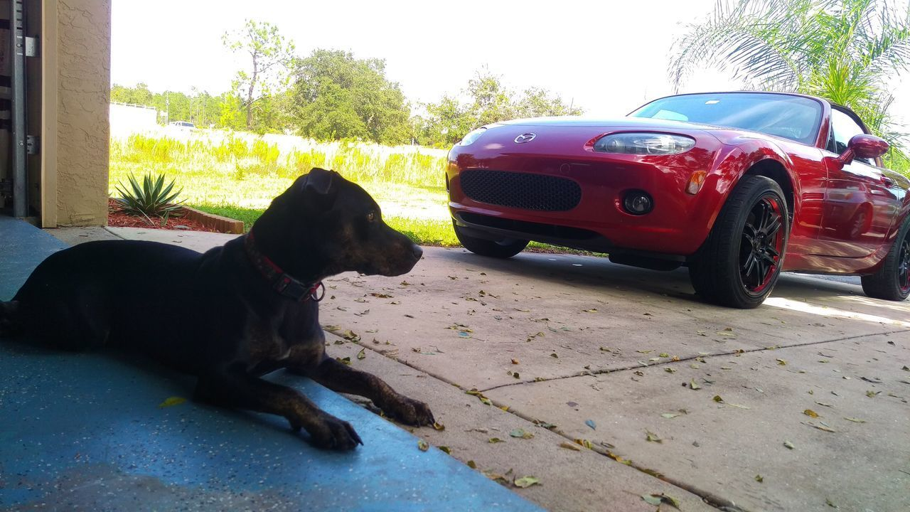 One Animal Dog Day No People Outdoors Pets Animal Themes Mammal Sky Red Miata Mazda MX-5 Land Vehicle Car Wheel Headlight