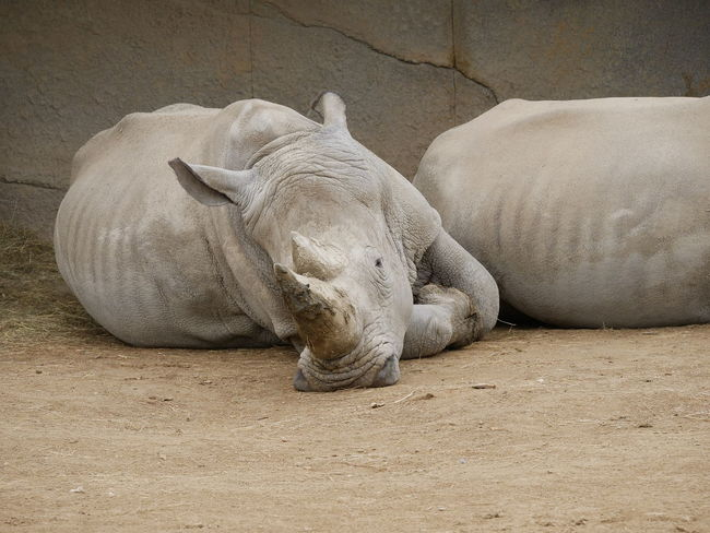 Animal Themes Animal Wildlife Animals In The Wild Day Lying Down Mammal Nature No People One Animal Outdoors Relaxation Rhino Rhinoceros