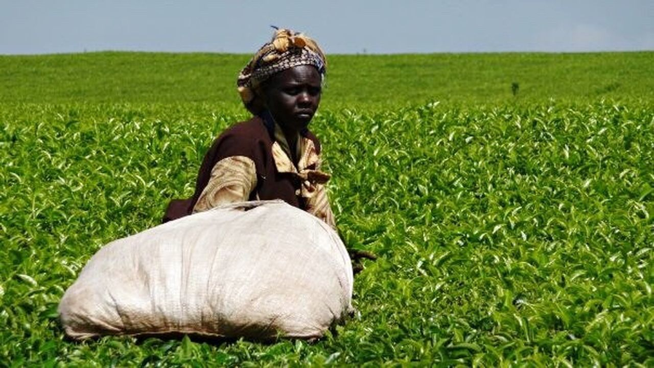 Field Grass Crop  Cultivated Land Green Color Growth Agriculture Rural Scene Outdoors Nature No People Day Tea Tea Leaves Working Kenya Hard Day