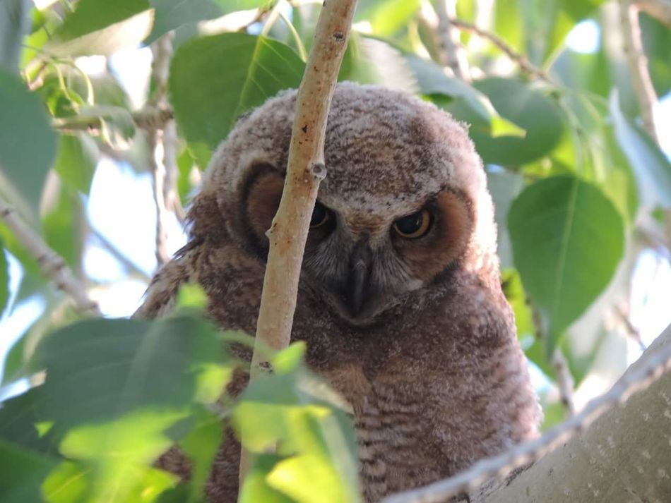 Owl in Santa Fe, NM Animal Wildlife Tree Nature Animals In The Wild Looking At Camera Close-up Animal Koala Leaf One Animal Tropical Climate Mammal Cute Portrait Outdoors No People Monkey Day First Eyeem Photo