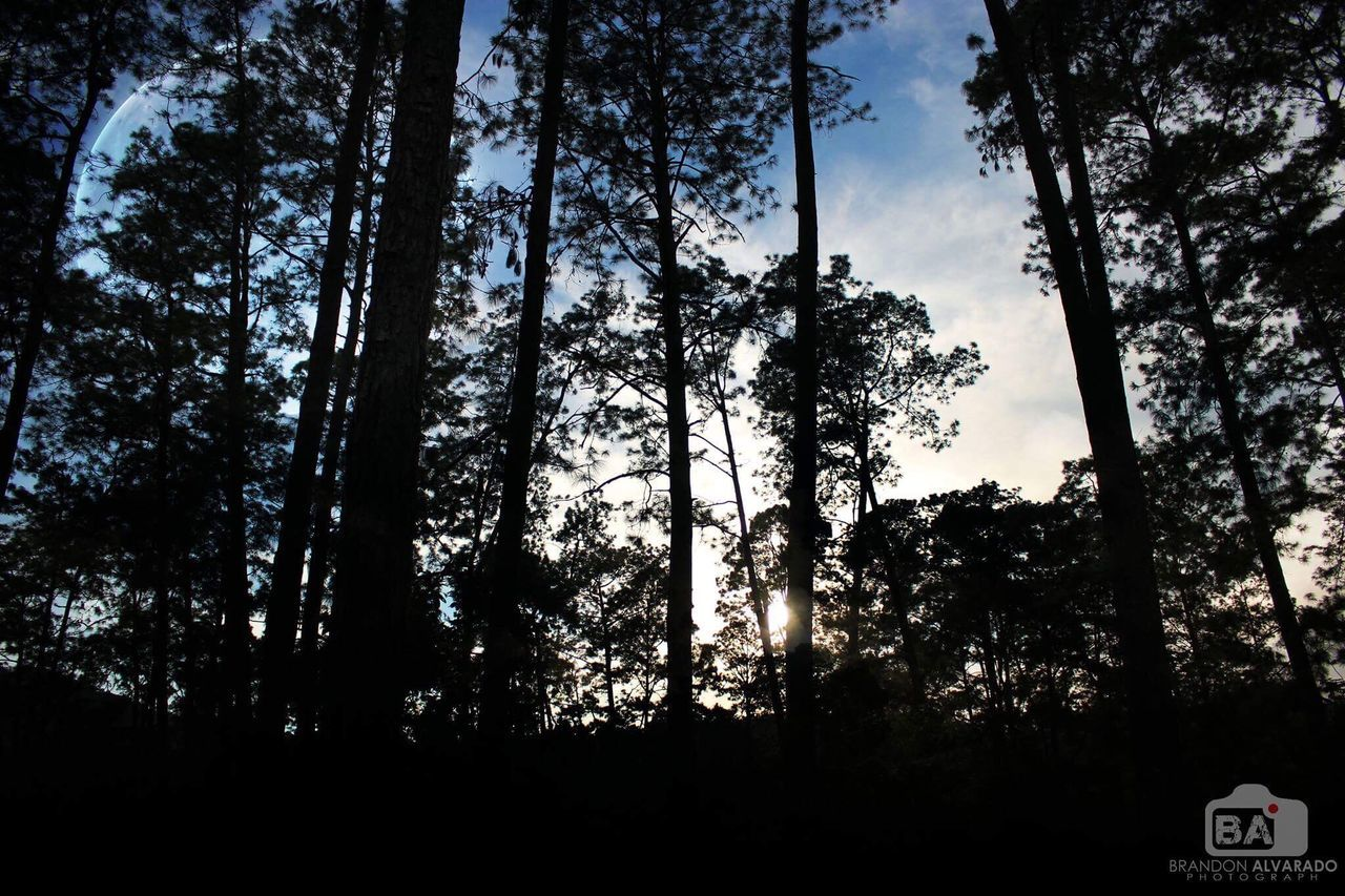 tree, forest, tree trunk, growth, nature, woodland, day, no people, low angle view, outdoors, sky, beauty in nature