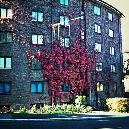 Autumn Foliage Red Oslo