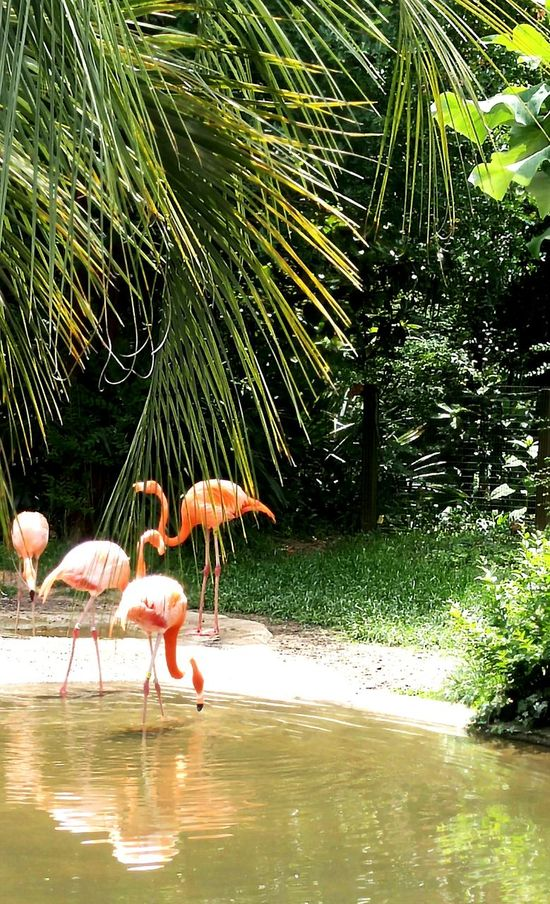 Pink Flamingos Flamingos Up Close Pink Flamingos Flamingo Gardens Flamingos In Water Flamingo Reflection Refelections
