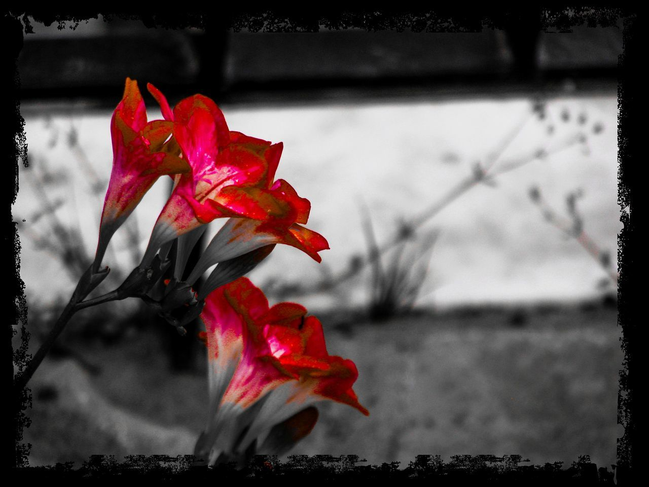 Red Flower Red Flowers Leaf Nature Beauty In Nature Fragility Flower Head Carmine Red Flower Flower Collection Flowers Black Background Backgrounds Garden Garden Photography Garden Flowers Break The Mold