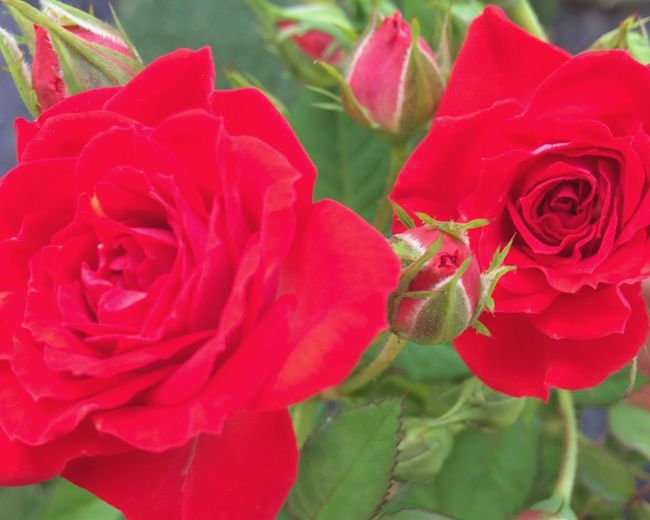 MyFavorite  Flower Collection Flowers Rose🌹 Red Roses Blooming Spring Voice MyGallery Nature Beauty In Nature Lovely Roses Of My Garden