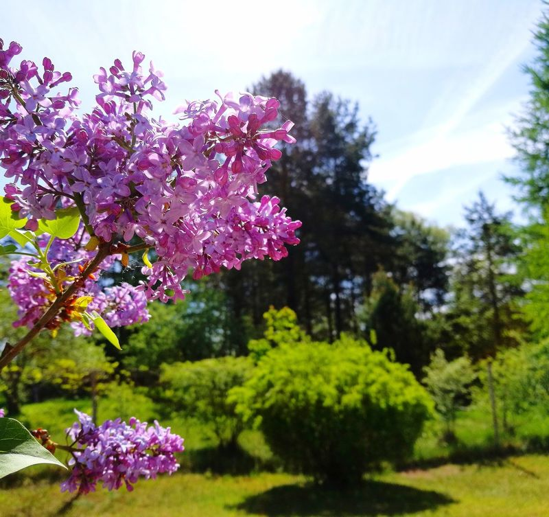Lilac Flowers Lilac Tree Beauty In Nature Lilac And Green My Park🌲🏞🏡🌾👍 Live For The Story The Great Outdoors - 2017 EyeEm Awards EyeEmNewHere