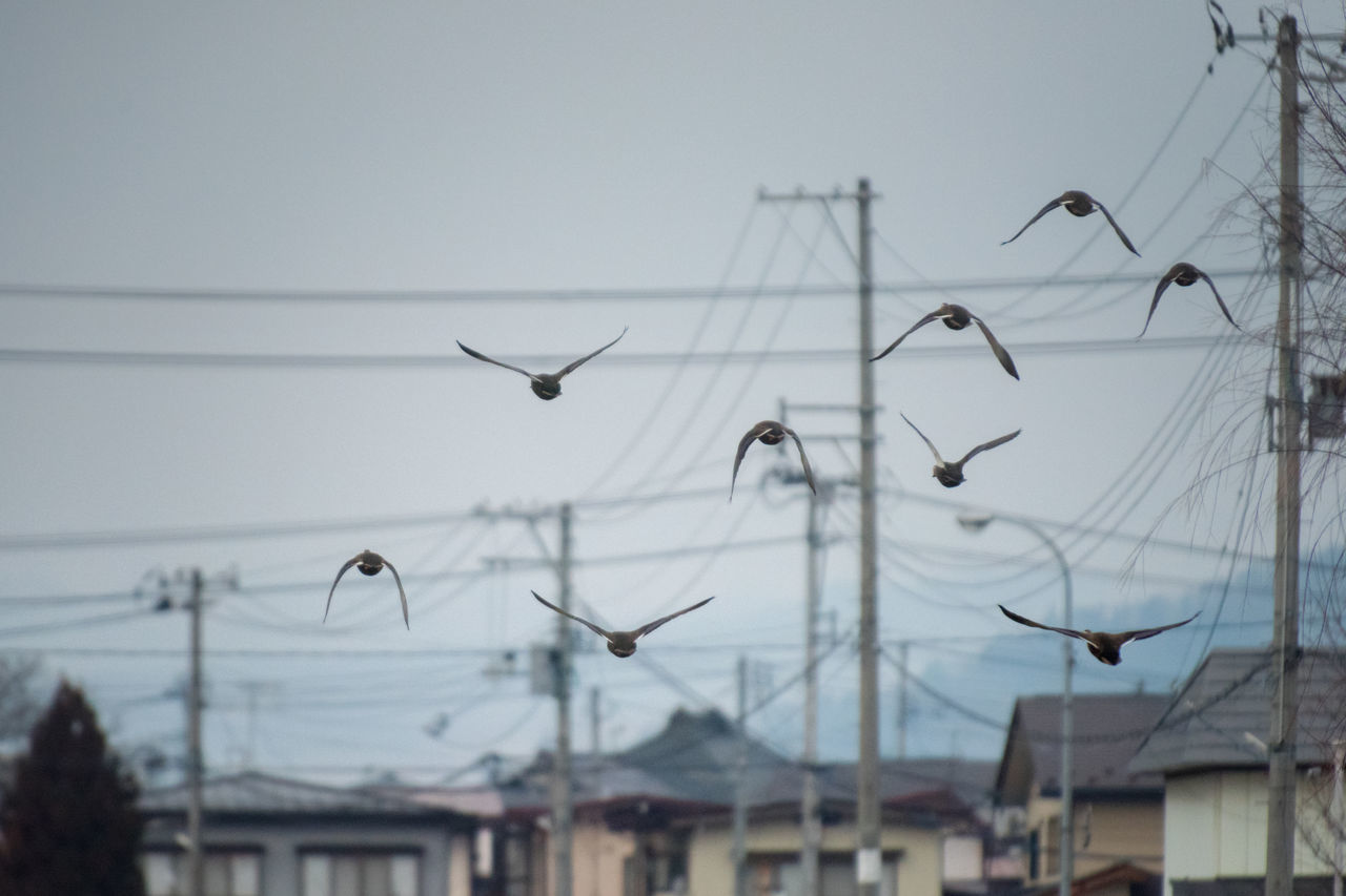 Ducks in flight. Japan. Animal Themes Animals In The Wild Beauty In Nature Bird Birds Birds In Flight Birds Of EyeEm  Birds_collection Birds🐦⛅ Cable Day Ducks Electricity  Electricity Pylon Flying Focus On Foreground Japan Japan Photography Large Group Of Animals Nature No People Outdoors Sky Tohoku