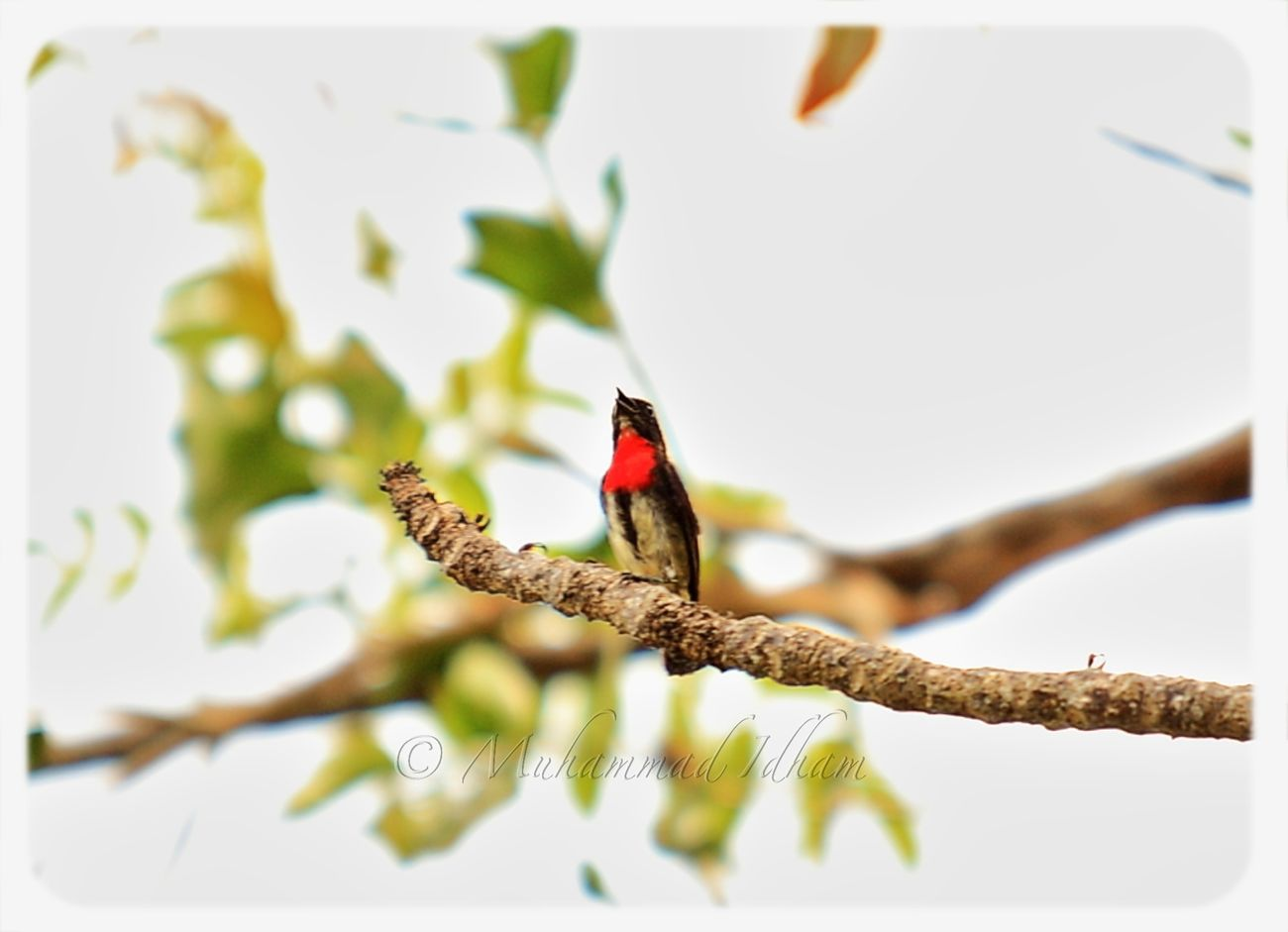 Dicaeum Maugei or Red Chested Flowerpecker (Burung Cabai) - Singing