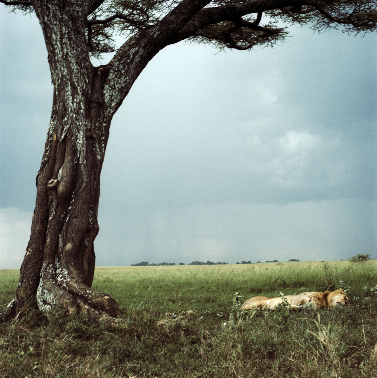 Beautiful stock photos of lion, Animal Themes, Animals In The Wild, Day, Field