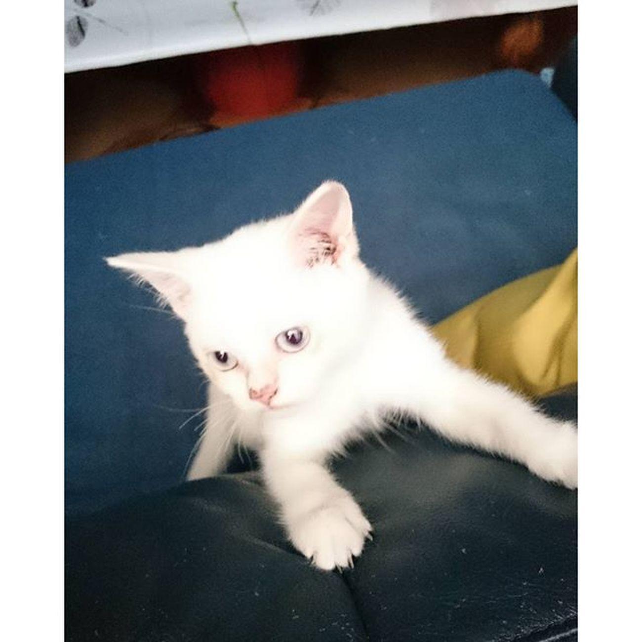 Hopi Dopi Little Cat hopewhite with blue eyesjustanamazing mix