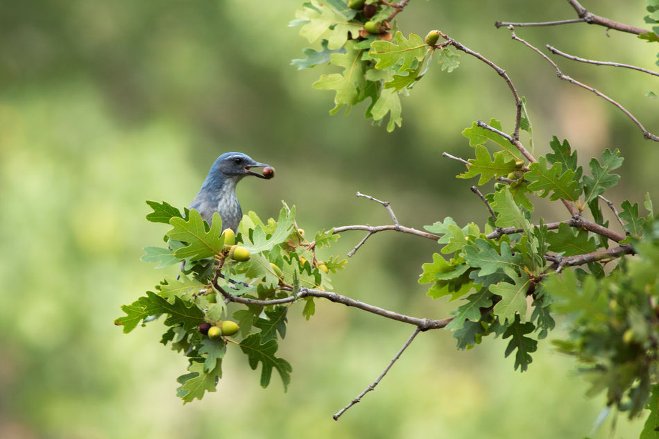 Scrub jay with an acorn Bird Animal Wildlife Animal Themes Nature Branch Oak Gambel Oak Woodhouse's Scrub Jay Western Scrub Jay Scrub Jay Jays Blue Jays Oak Tree Songbird  Animals In The Wild Animal Tree One Animal Outdoors No People Acorn Utah Birds Nature Maxwell Canyon