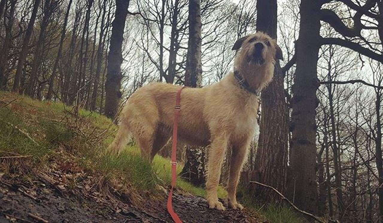 A walk is a cure for every evil. Walk Dogs Wolfie Wolfhound Blonde Forest Trees Path Dogsofinstagram Dogstagram Ireland Irishgirl Dream Hope