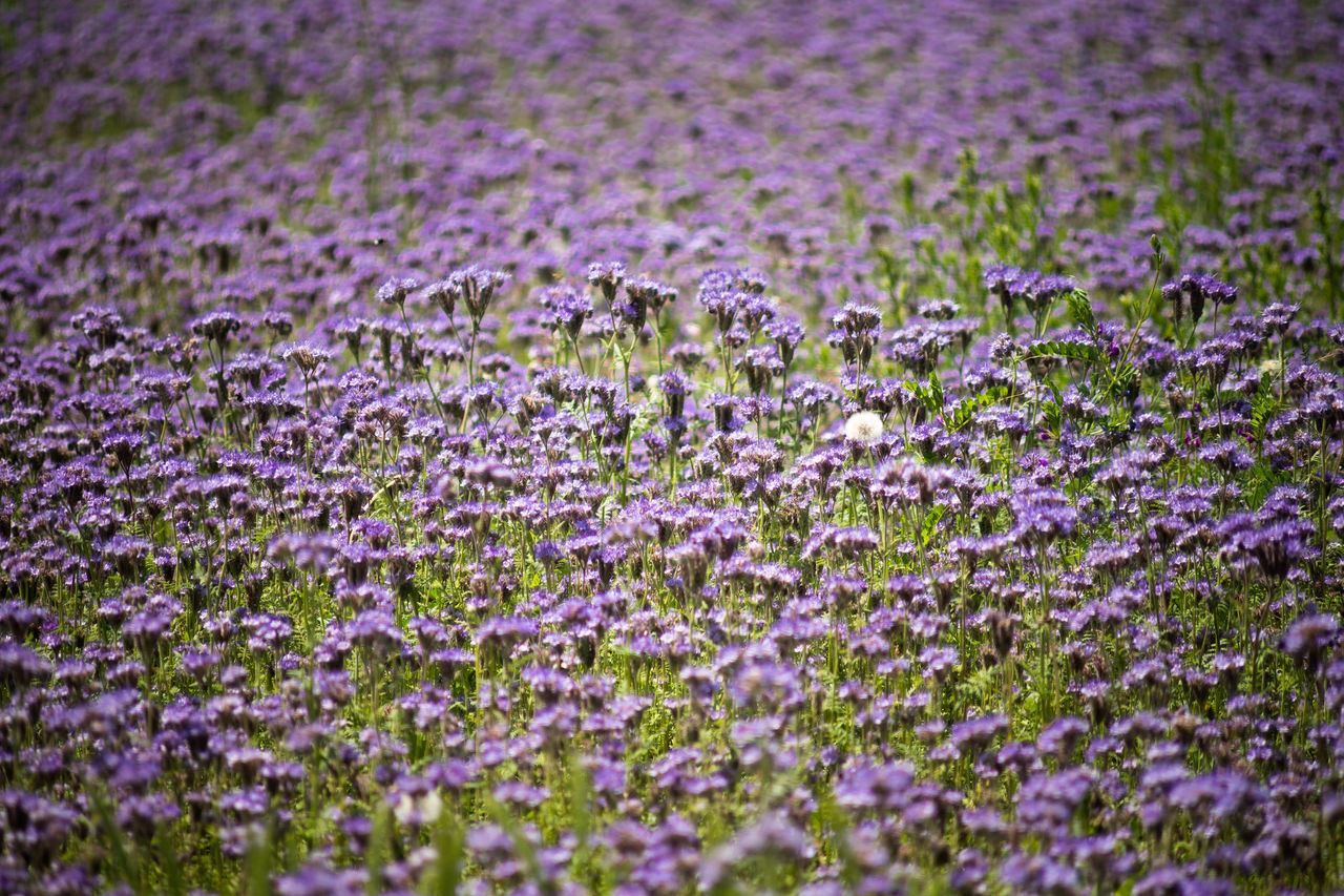 Purple Flower Lavender Nature Field Beauty In Nature Plant No People Growth Outdoors Fragility Day Landscape Rural Scene Flower Head Freshness Close-up Animal Themes Crocus