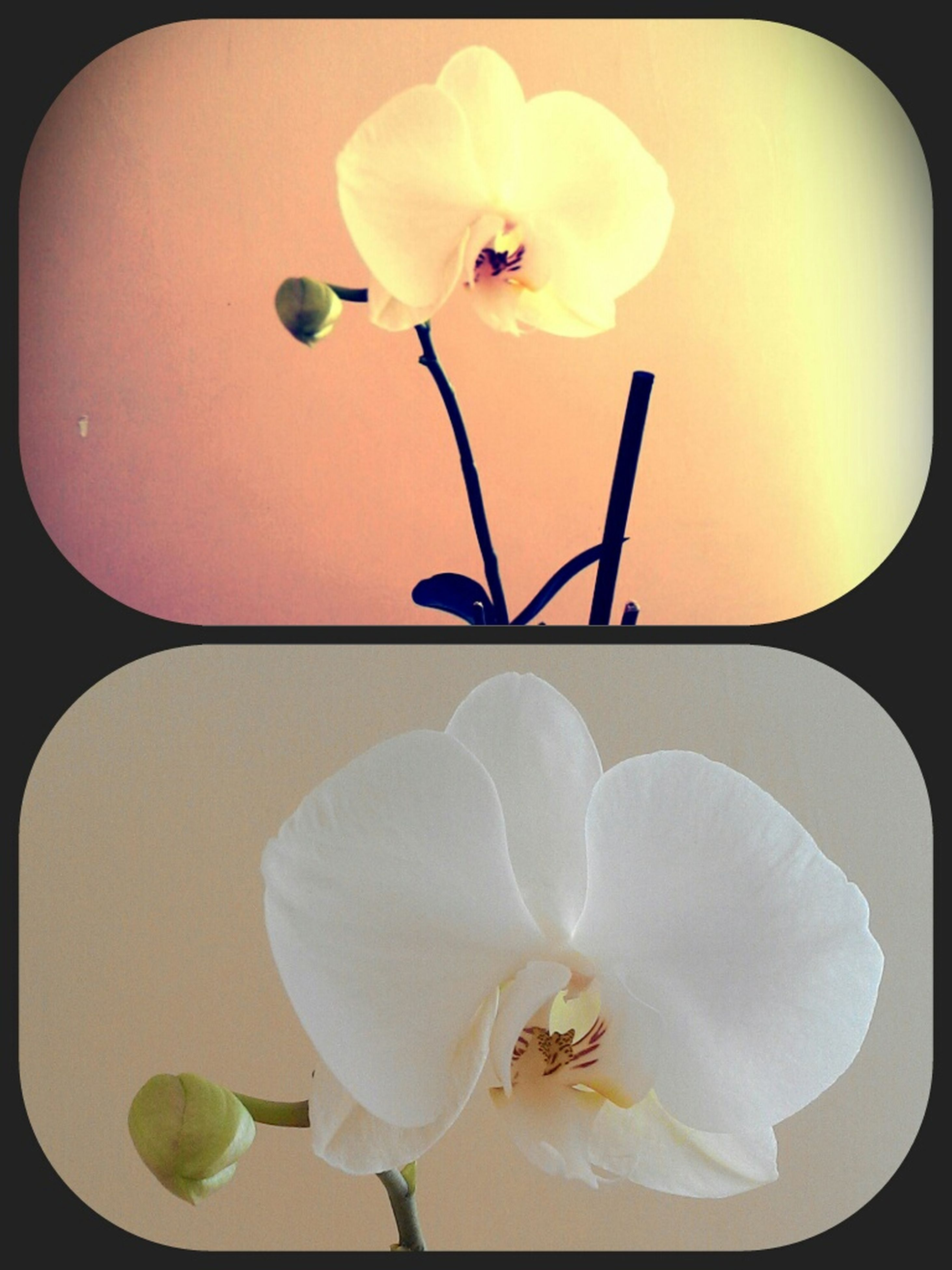 flower, fragility, petal, freshness, flower head, indoors, beauty in nature, growth, close-up, nature, transfer print, orchid, white color, auto post production filter, vase, stem, plant, blossom, blooming, in bloom