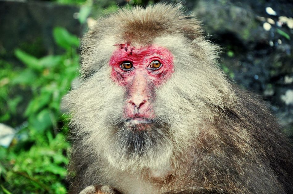 Monkey portrait Mammal Animal Themes Animals In The Wild Monkey One Animal Outdoors No People Nature Battle Scars China Photos Sichuan Emeishan Emei Mountain Portrait Animal Photography Animal Portrait