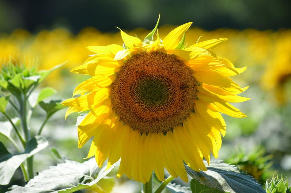 Ces images ont été prises le 7 août 2016 dans le département des Deux-Sèvres en France. Champ Field Fleur Flower Sunflower Tournesol