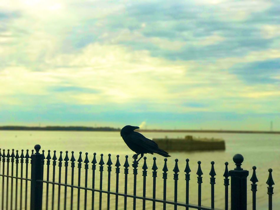 Bird Railing Animals In The Wild Cloud - Sky Animal Themes Perching Outdoors Sky One Animal Safety Protection Animal Wildlife Nature Day Raven - Bird No People Sea Wooden Post Water Beauty In Nature