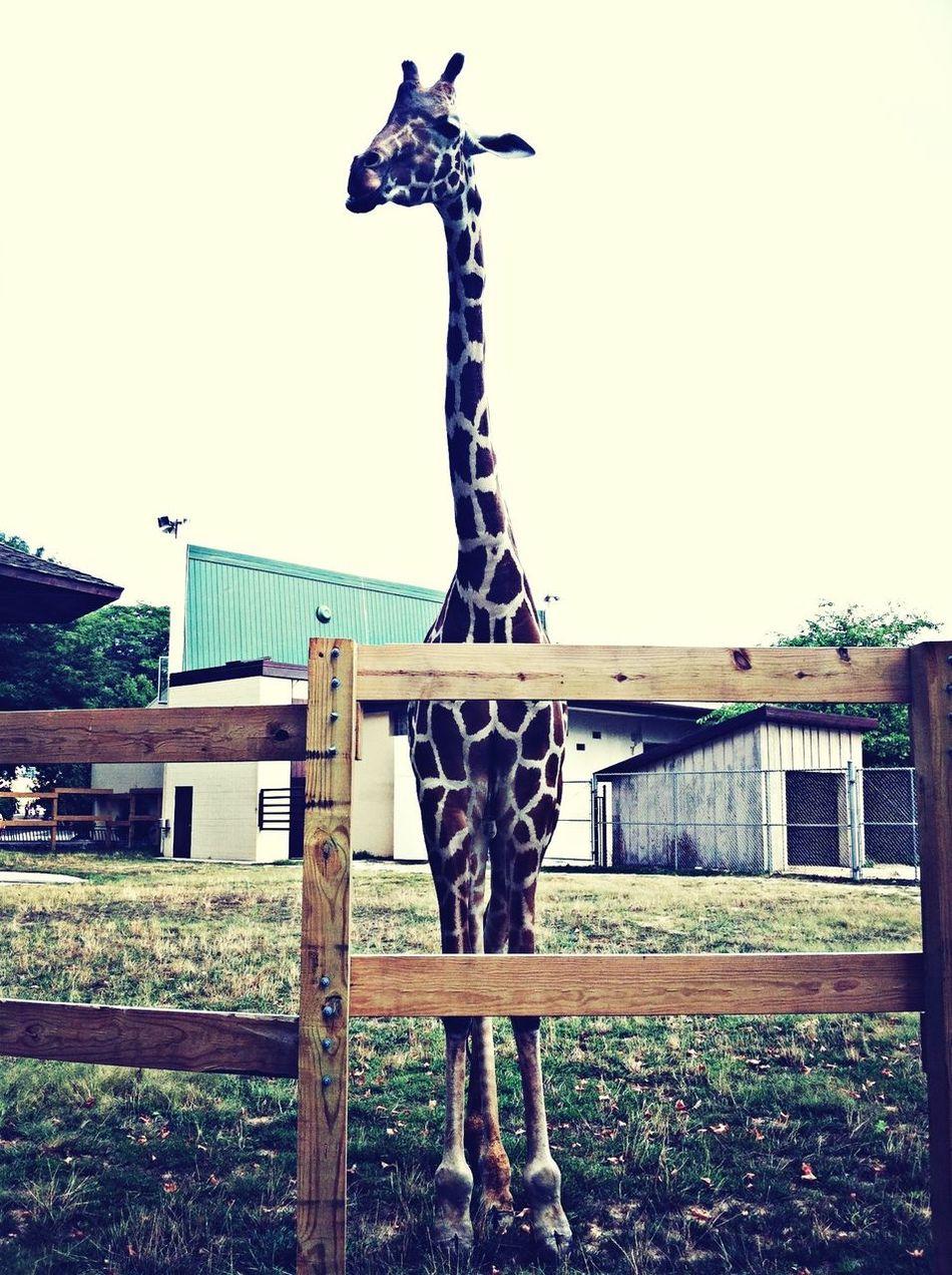 Giraffe Cute