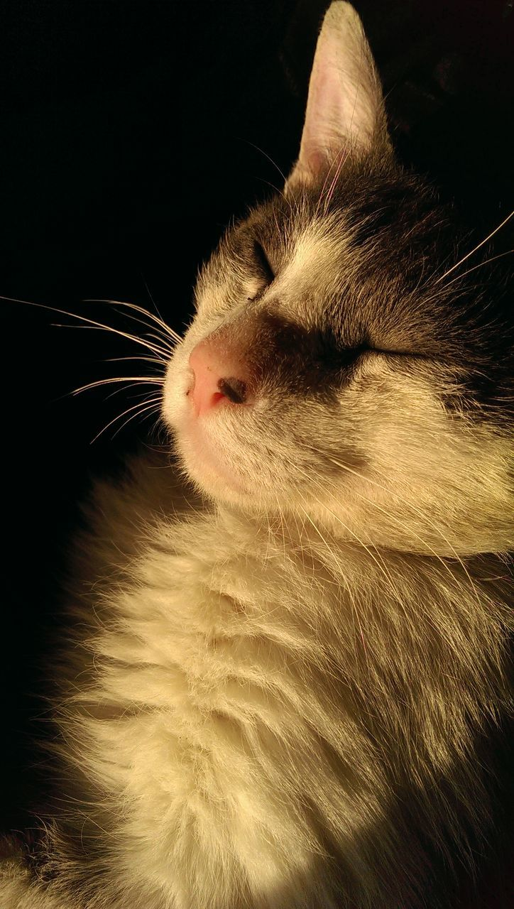 domestic cat, one animal, pets, animal themes, feline, domestic animals, cat, mammal, eyes closed, whisker, indoors, close-up, no people, day
