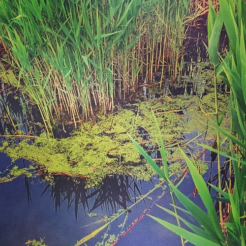 Kőrös Water River Sun Spring Nature Duckweed Cane Nad Békalencse Tavasz Természet Naturelovers Mobile_perfection Mobile_nature Mobilephotography Hungary