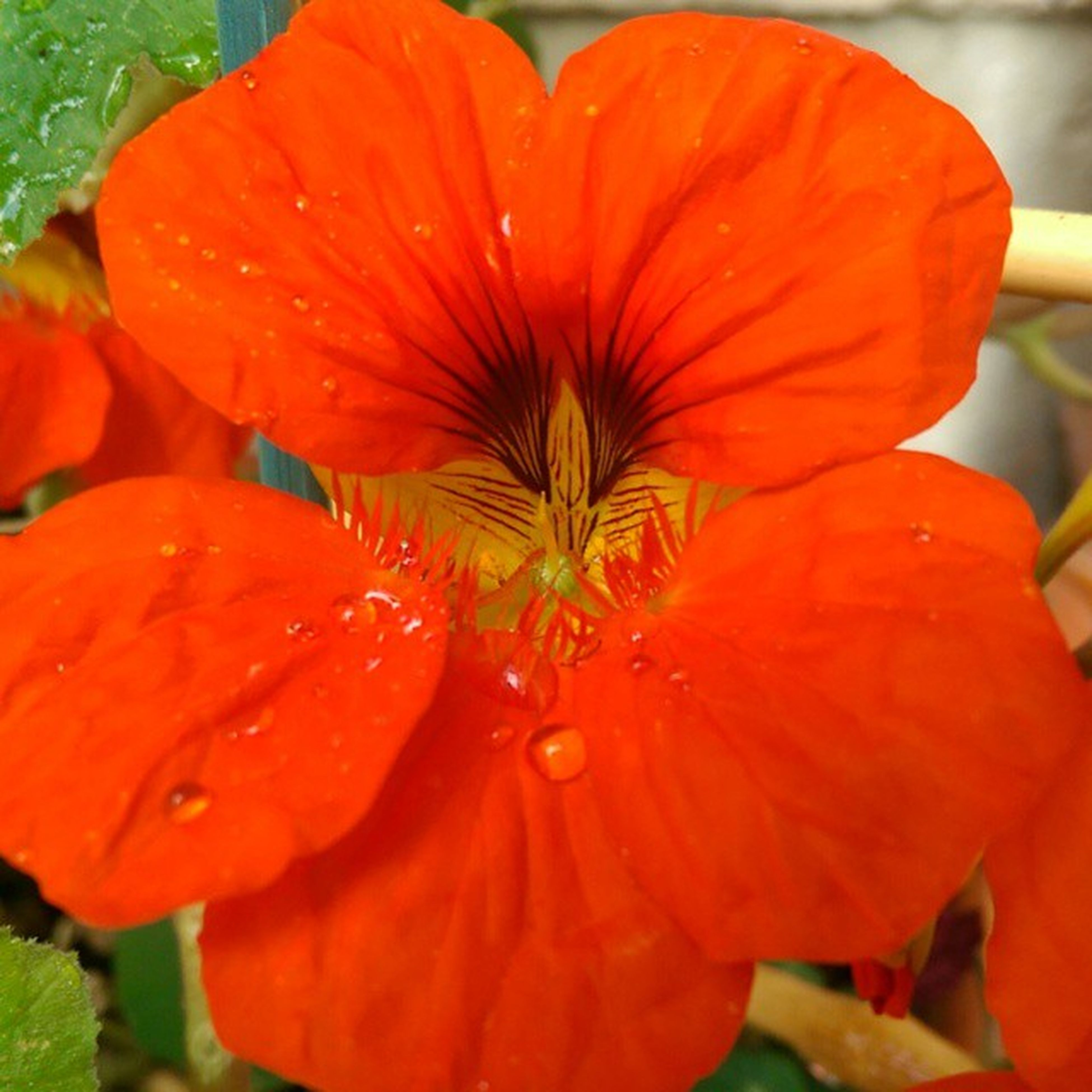 flower, petal, freshness, flower head, fragility, growth, beauty in nature, red, close-up, blooming, nature, plant, orange color, single flower, focus on foreground, pollen, in bloom, stamen, leaf, day