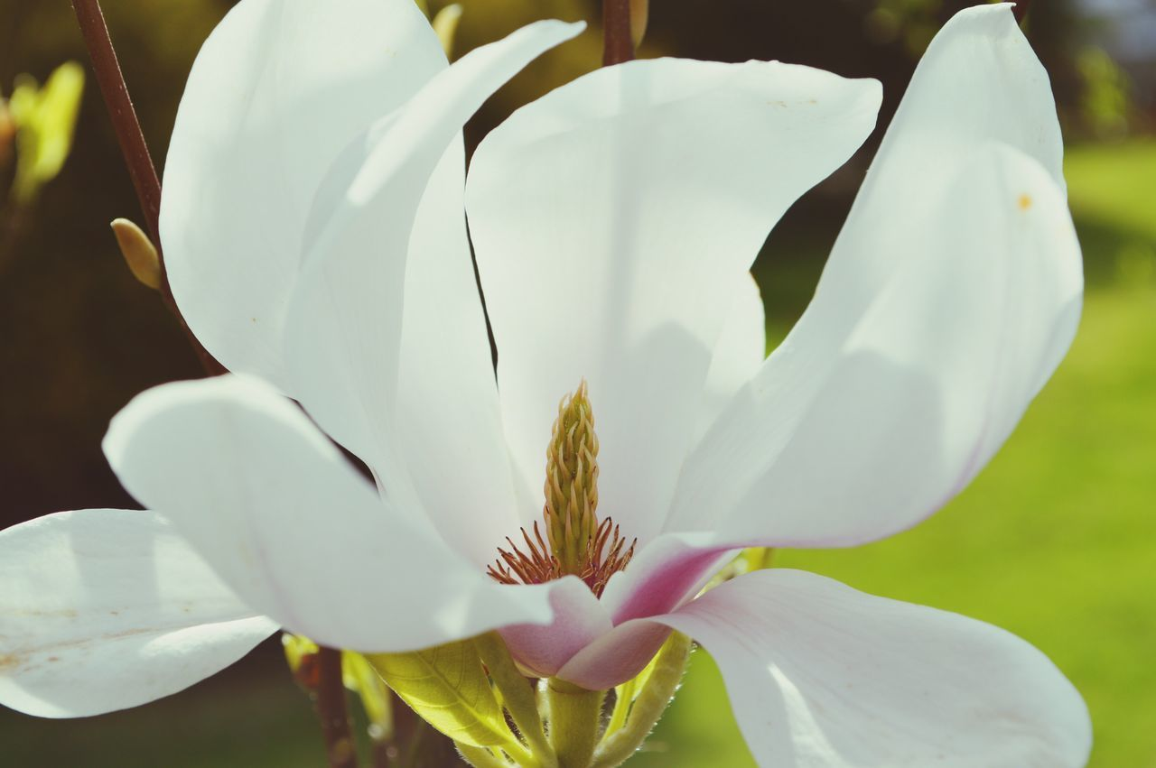 Beautiful stock photos of magnolia, Beauty In Nature, Blooming, Blossom, Botany