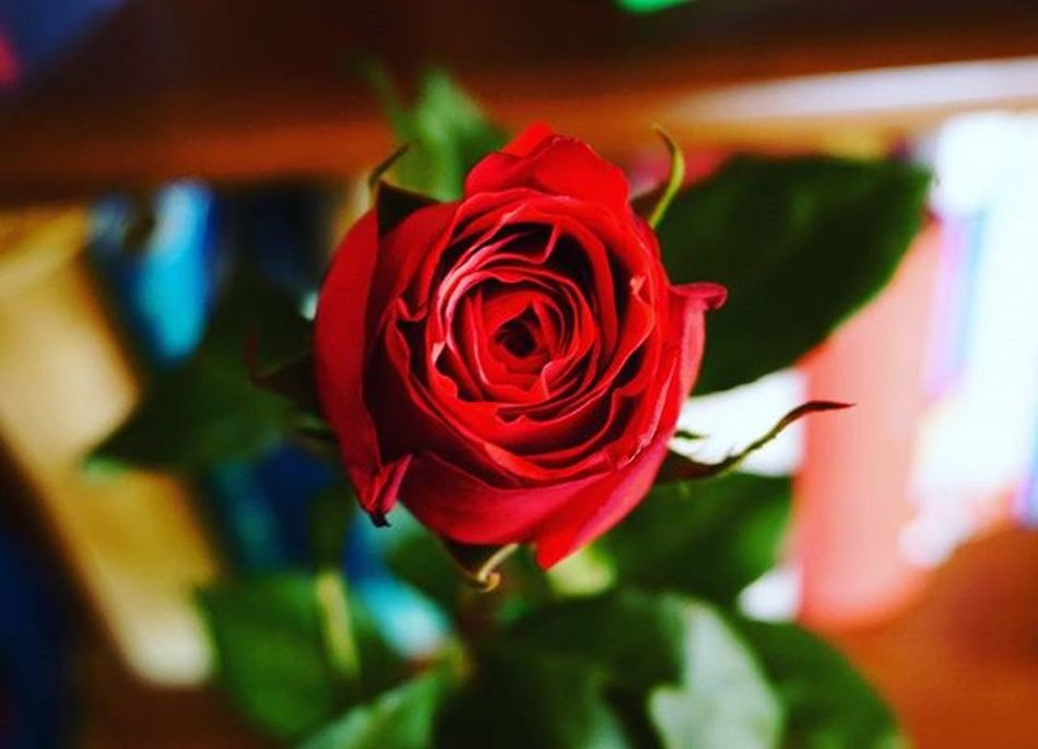 Rosé Flower Red Lovelyday Beautifulphoto Sony A6000 Makro Guben Gubin