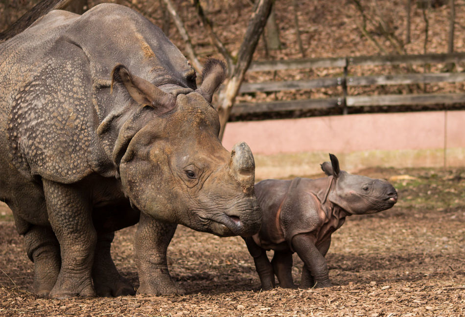 Rhino Young Animal Rhinoceros Day Nürnberg Germany No People Animal Nature Standing Outdoors Animal Themes Rhino Baby Tiergarten Nürnberg Zoo Mother Animals In The Wild Elephant Animal Wildlife Mammal Reptile Togetherness First Eyeem Photo