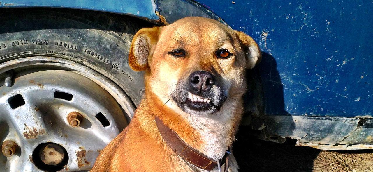 Beautiful stock photos of funny animal, Animal Themes, Blue, Car, Damaged