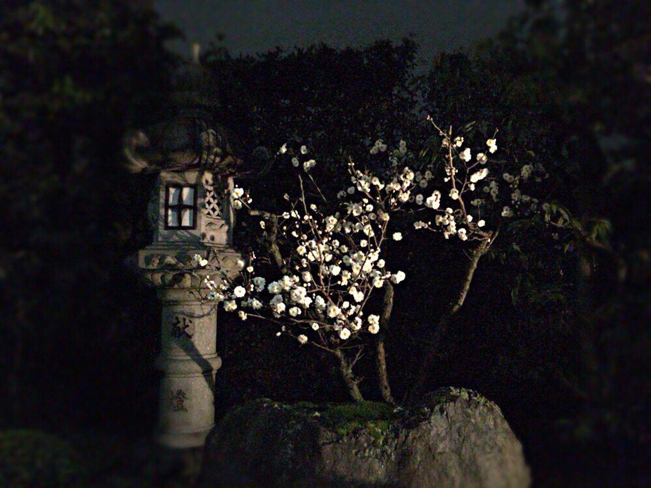 Kyoto,japan Kyoto Night Prunus Mume Japanese Apricot Ume Kyoto NIght Lights Kyoto Night Kyoto Night Night Ume Night Japanese Apricot Kyoto Night Flower Hakubai Kyoto Night Hakubai