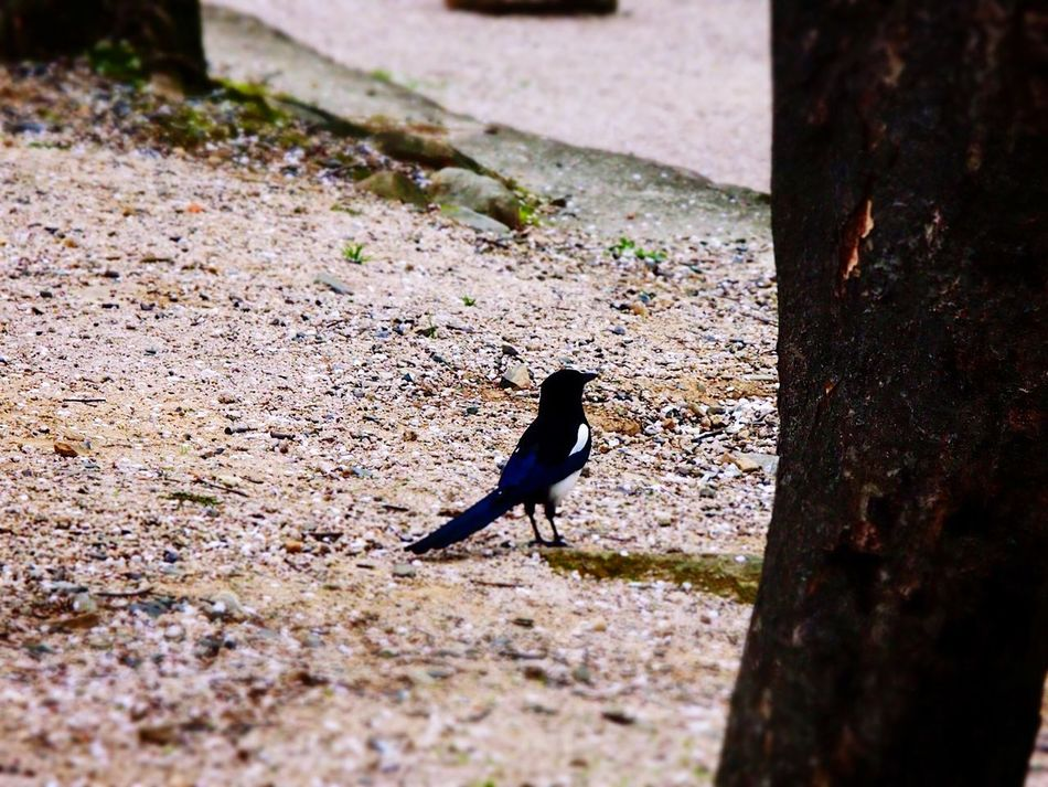 Magpie Bird Bird Photography Diorama OlympusPEN Olympus E-P3 14-54mm II Traveling Taking Photos From My Point Of View