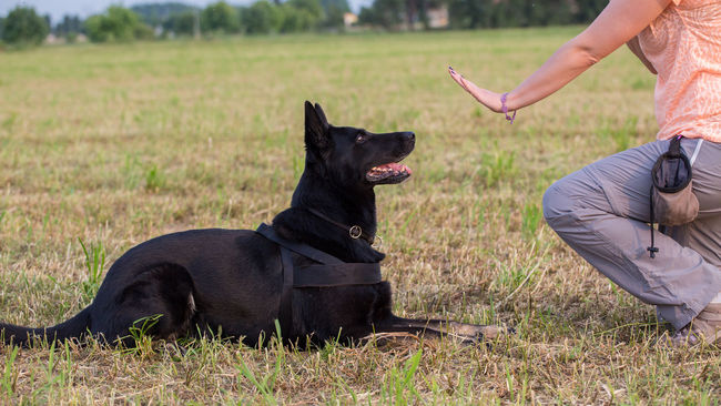 Black German Shepherd training (Down command) Activity Black Command Dog Domestic Animals Down Educator Educatore Cinofilo German Shepherd Grass Instructor Leadership Mammal Obedience Owner Pet Sitting Trained Dogs Training