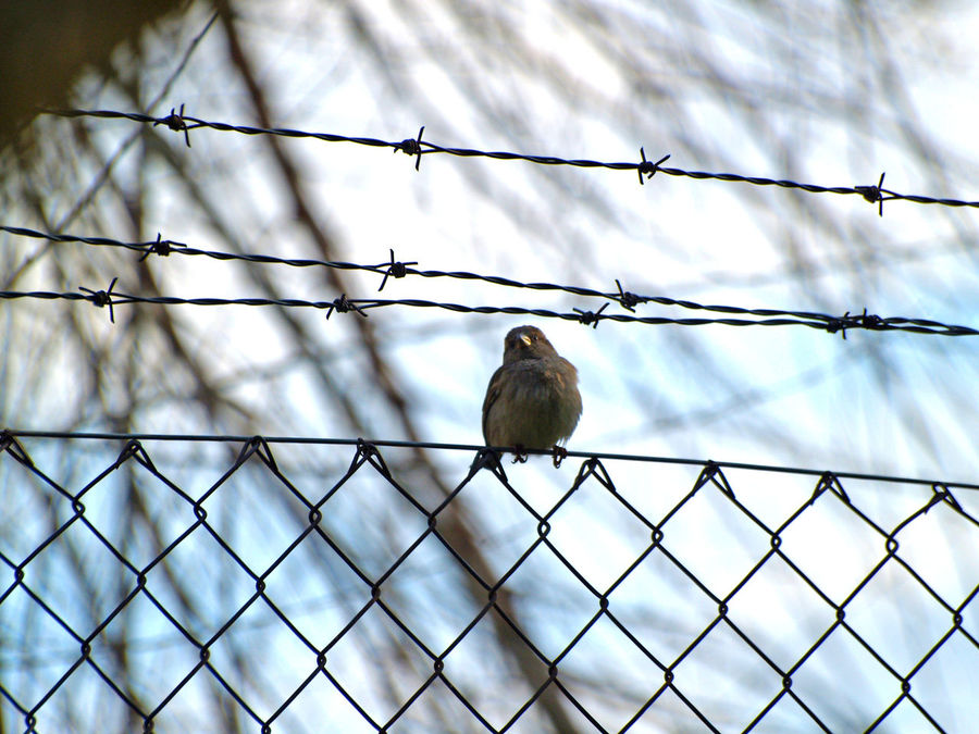 Animal Themes Animal Wildlife Animals In The Wild Barbed Wire Bird Bird Photography Birds Day Fence Low Angle View Mourning Dove Nature No People One Animal Outdoors Passer Passer Domesticus Perching Sky Sparrow Sparrow Bird Sparrows Wild Animal Wildlife