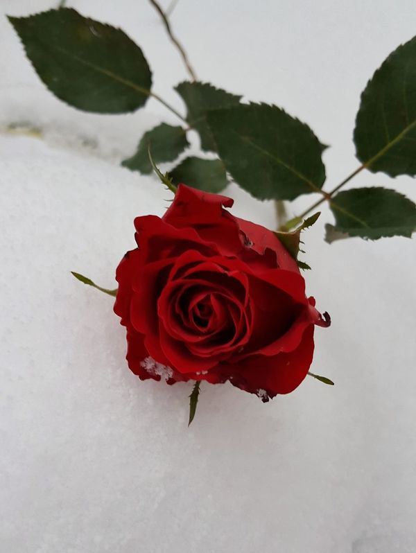 AntiM Beauty In Nature Close-up Day Flower Flower And Snow Flower Head Fragility Freshness Nature No People Outdoors Petal Plant Red Red Red And White Rose - Flower Rose And White Color Rose🌹 Snow Snowflower White