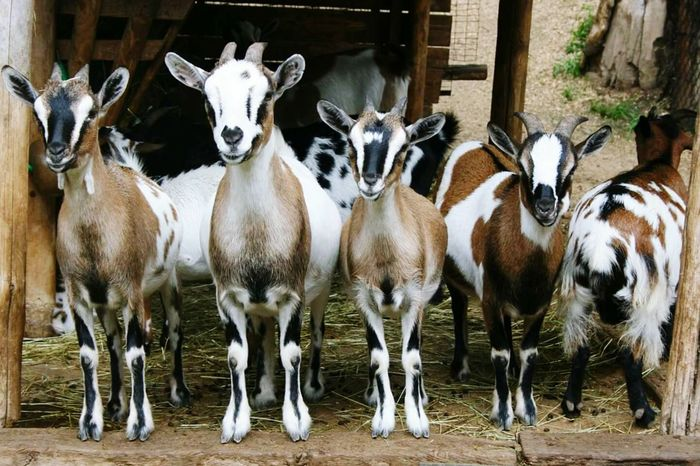 Animal Themes Looking At Camera Mammal Domestic Animals Young Animal Large Group Of Animals Nature Travel Destinations Italy 🇮🇹 Close-up Staring At Me Goats Goat Life